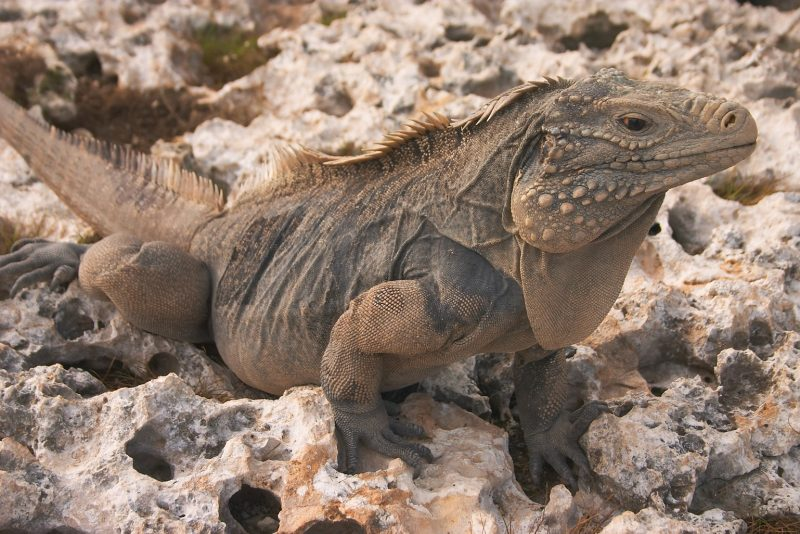 Iguanas resting on rock in Bayahibe