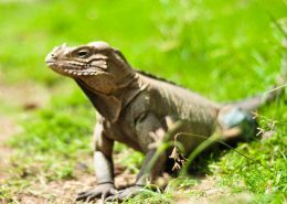 Small Iguana sitting in grass, Anamuya ranch, Dominican Republic