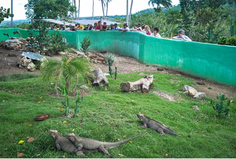 iguanas maiting in enclosure of ranch in Anamuya,Dominican Republic