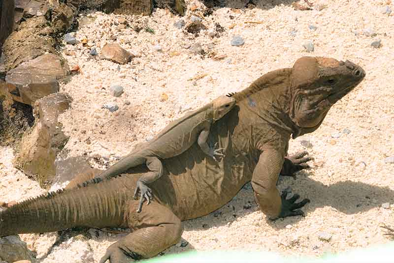 rock iguanas on Outback Ranch in Anamuya