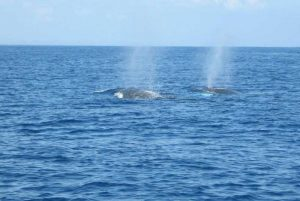 whales blowing air in Samana - Dominican Republic