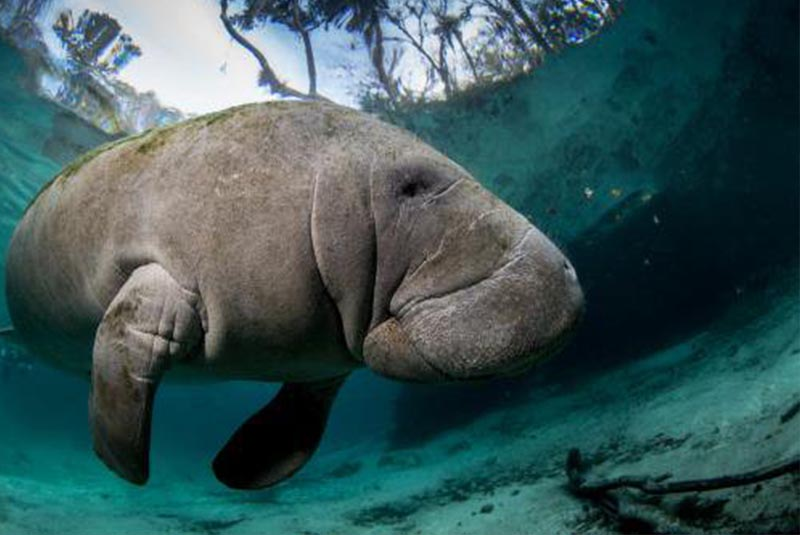Manatee swimming in water