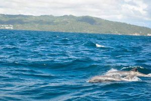 dolphins in Samana Bay - Dominican Republic