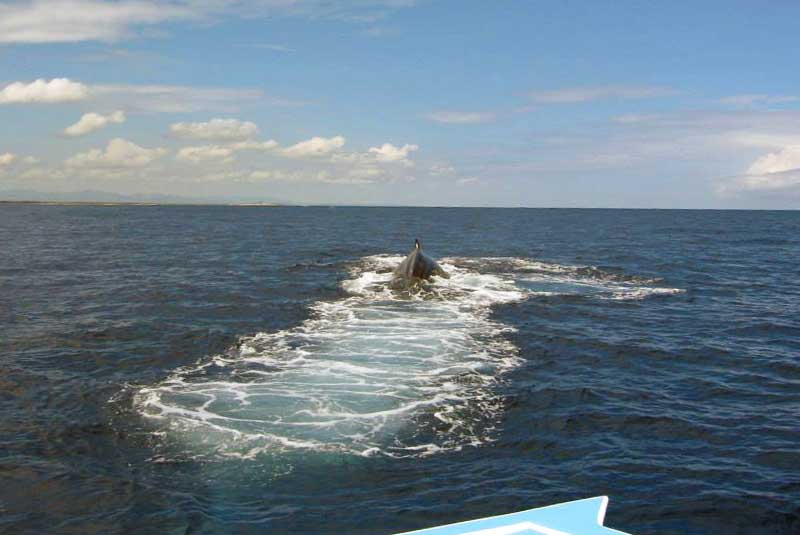whale diving close to boat in Samana - Dominican Republic