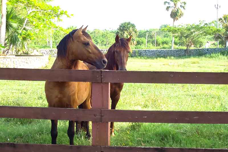 horses on ranch in Sosua - Dominican Republic