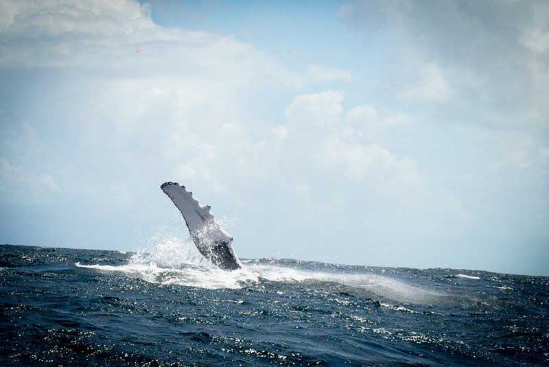 humpback whale showing flipper on whale watching tour in Samana - Dominican Republic