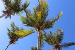 palm threes with blue sky in Punta Cana - Dominican Republic