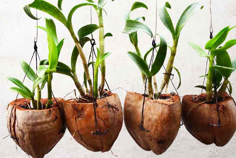 orchid plants in coconut shells