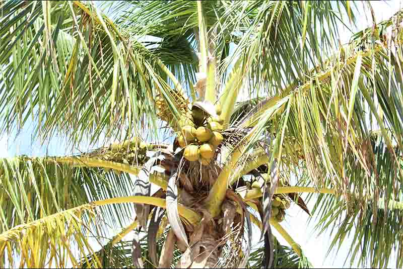 palm top with leaves and coconuts - Outback Adventures Dominican Republic