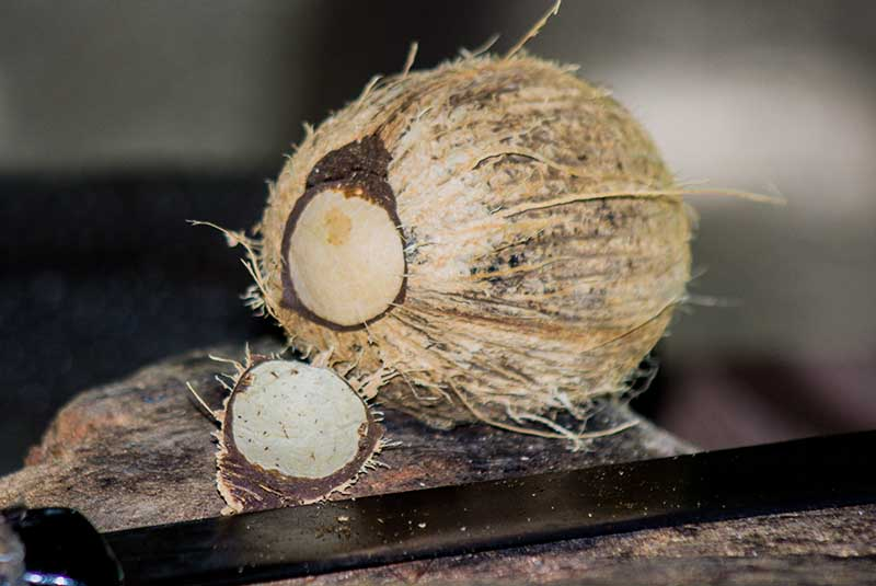 coconut with dry husk fibers - Outback Adventures Dominican Republic